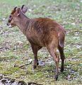 Chinesischer Muntjak Muntiacus reevesi Tierpark Hellabrunn-5.jpg