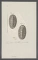 Chiton spec. - - Print - Iconographia Zoologica - Special Collections University of Amsterdam - UBAINV0274 081 06 0012.tif