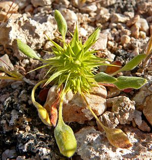 Chorizanthe rigida - Rigid spineflower or Rigid Spiny Herb