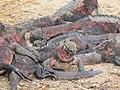 Christmas Iguanas - Marine Iguanas - Espanola - Hood - Galapagos Islands - Ecuador (4871406470).jpg