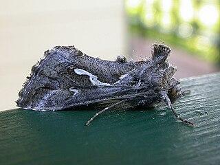 <i>Chrysodeixis</i> genus of moths