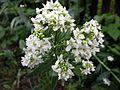 Chrzan pospolity - kwiat (1).jpg