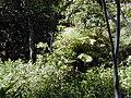 Cinchona.pubescens02.jpg