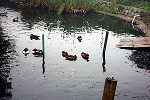 Pilling's Pond - Shovelers and cinnamon teals on the pond