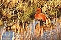 Cinnamon teal on Seedskadee National Wildlife Refuge (28088519128).jpg