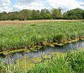 Circular walk on the Wherrymans Way - reed beds - geograph.org.uk - 1285309.jpg