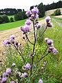 Cirsium arvense (L.) Scop. (7629188314).jpg