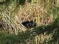 Cisne negro (6841035636).jpg