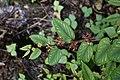 Cissus bicolor7163.jpg