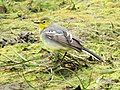 Citrine Wagtail female, Lynemouth Flash, Northumberland 1.jpg