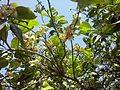 Citrus blossoms Kefar Saba February 2015 f.jpg