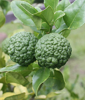 Citrus hystrix fruit.jpg