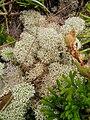Cladonia stellaris2.jpg