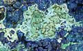 Claraite, Strashimirite, Azurite, Theisite, Parnauite, Chalcopyrite-488411.jpg