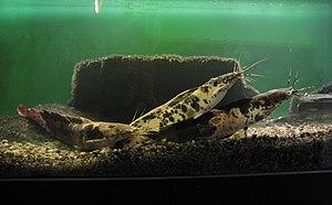 Airbreathing catfish - Clarias batrachus at Brno Zoo