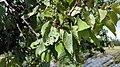 Clastosporium disease of apricot.jpg
