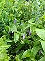 Clematis albicoma hybrid - Flickr - peganum (3).jpg