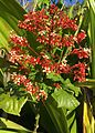 Clerodendron1.jpg