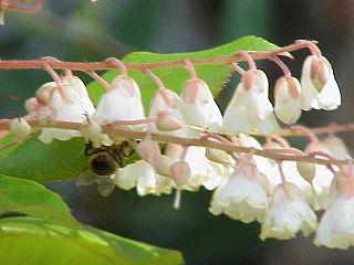 <i>Clethra</i> genus of plants