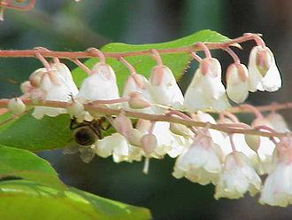 Clethra - Clethra arborea flowers