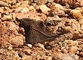 Club Beak Libythea myrrha by Dr. Raju Kasambe DSCN4979 (1).jpg