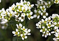 Cochlearia officinalis Prague 2012 3.jpg