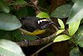 Coereba flaveola a1.jpg