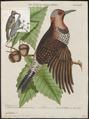 Colaptes auratus - 1700-1880 - Print - Iconographia Zoologica - Special Collections University of Amsterdam - UBA01 IZ18700223.tif