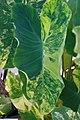Colocasia esculenta Yellow Splash 1zz.jpg