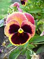 Colourful Viola flower 3.jpg
