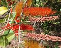 Combretum fruticosum, flower and fruit (10840995985).jpg