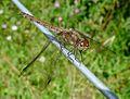 Common Darter. Sympetrum striolatum. Mature female. - Flickr - gailhampshire.jpg