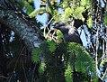 Common Grackle fledge (33774369633).jpg