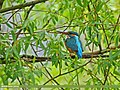 Common Kingfisher (Alcedo atthis) (32319219825).jpg