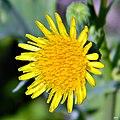 Common Sowthistle (Sonchus oleraceus) (7718851354).jpg