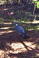 Common Wood Pigeon (Columba palumbus) (8707388705).jpg