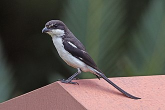 Southern fiscal - L. c. subcoronatus in Walter Sisulu National Botanical Garden, Roodepoort, South Africa