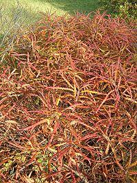 Comptonia peregrina BotGardBln1105HabitusFall