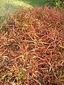 Comptonia peregrina BotGardBln1105HabitusFall.JPG