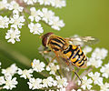 ComputerHotline - Syrphidae sp. (by) (8).jpg