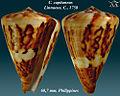Conus capitaneus 4.jpg