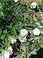 Convolvulus arvensis-20140703 120324.jpg