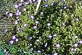Convolvulus tricolor - Bergianska trädgården - Stockholm, Sweden - DSC00213.JPG