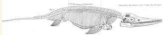 Ichthyosaur - Diagram of the skeletal anatomy of Ichthyosaurus communis from an 1824 paper by Conybeare