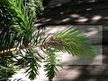 Cooley Spruce GallAdelgid specific.jpg