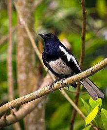 Burung jantan di Malaysia