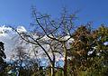 Corísies al jardí de Vivers de València.JPG