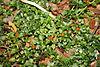 Coralito (Nertera granadensis)