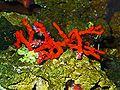Corallium rubrum 01.JPG