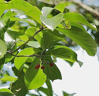 <i>Cordia sulcata</i> species of plant